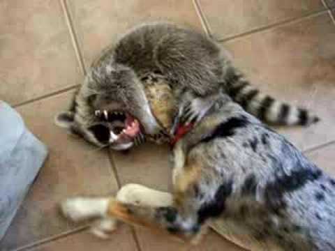 Raccoon dog play fight