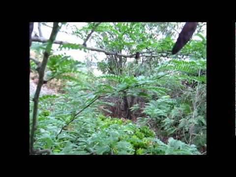 Honey Locust Seed Pods Poisonous an Edible Honey Locust Pod