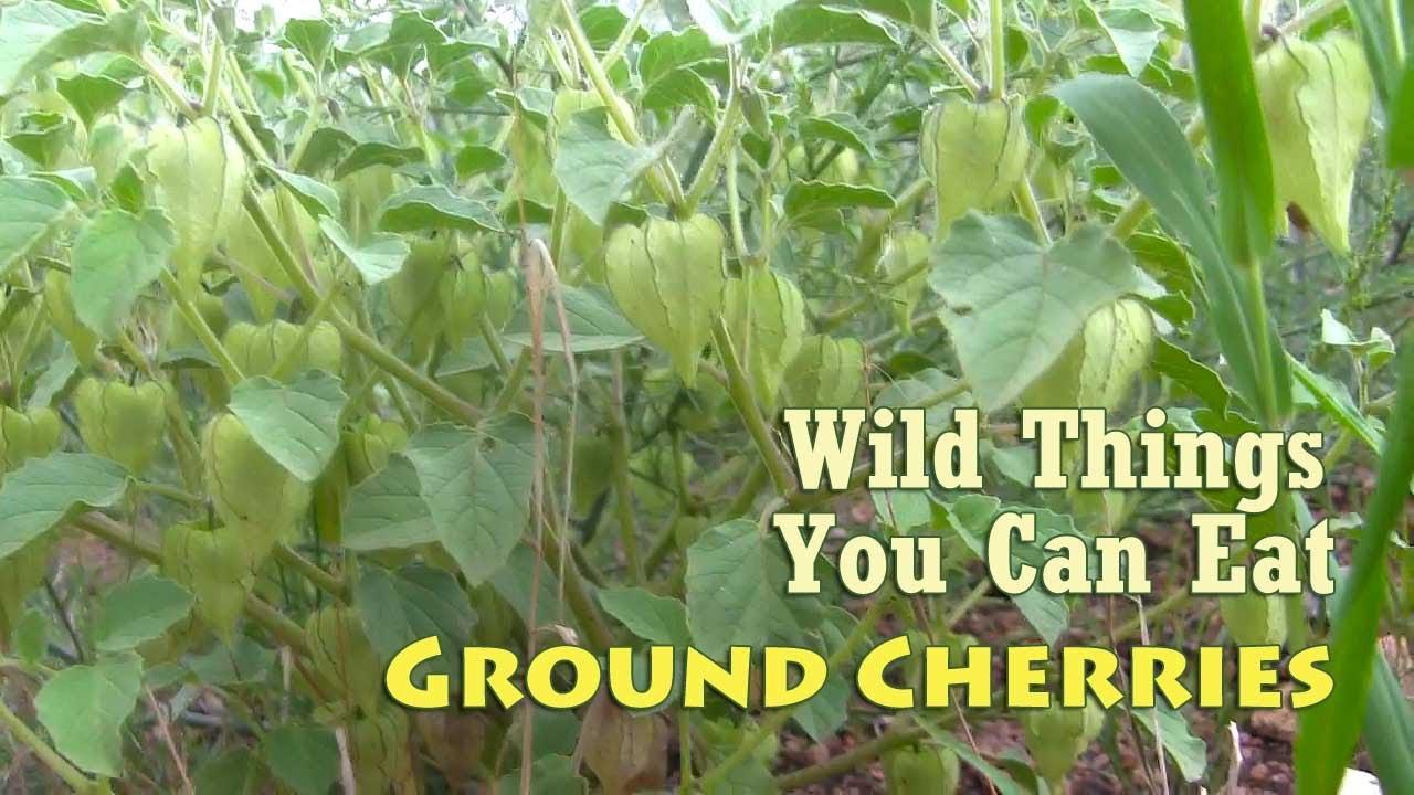 Wild Tomatillo Plant Aka Wild Tomatillos