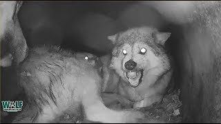 When Wolf Mama's