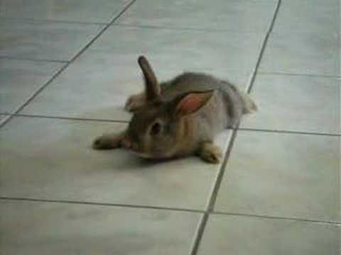 brown dwarf baby rabbits - photo #43