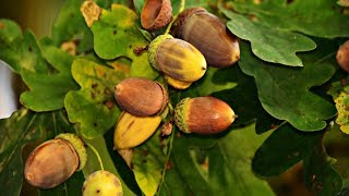 learning english vocabulary with video   acorn recipe - Weird Fruit