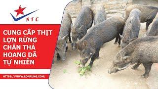 Cung Cấp Thịt Lợn Rừng - Chăn Thả Hoang Dã Tự Nhiên