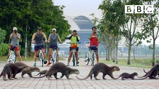Why this adorable otter family took over Singapore's streets - BBC
