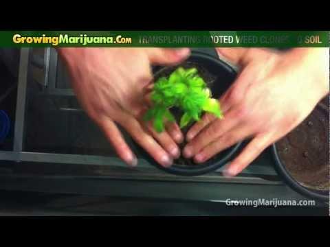 Growing Marijuana - Transplanting Rooted Weed Clones To Soil