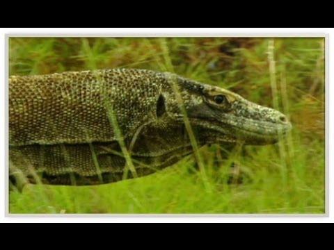 Dragones de Komodo cazando