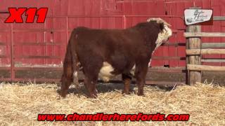2017 Private Treaty Chandler Herefords Bull Sale part 1