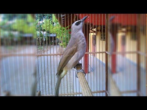 Suara Kicau Burung Trucukan Ropel Gacor Panjang