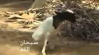 Soubhanallah !!! Un mouton à deux pattes