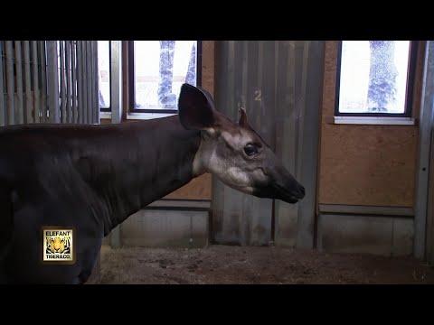 Schleckerli für Okapi Kimdu