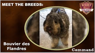 The Beverly Hills Dog Show: Meet The Breeds - Bouvier des Flandres