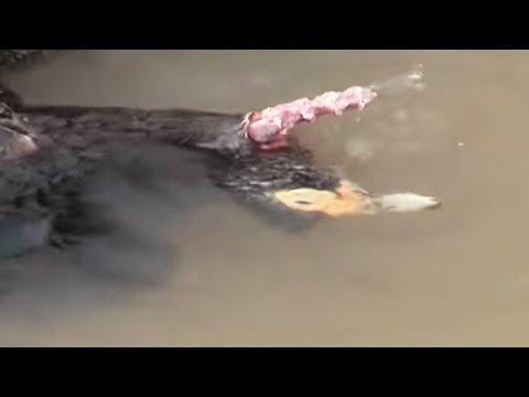 Piranha Devours a Duck