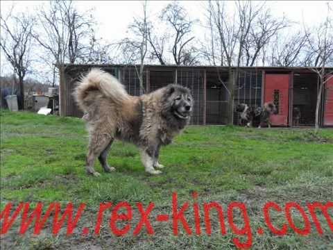Big dogs, kavkaski ovčari