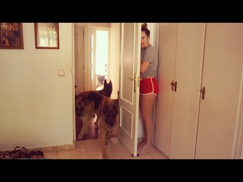 GET READY to LAUGH LIKE HELL, here are GERMAN SHEPHERDS! - Funny DOG VIDEOS compilation