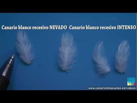 pedromazuelas - Como diferenciar Canarios Blanco Recesivo Nevado de Blanco Recesivo Intenso Parte1