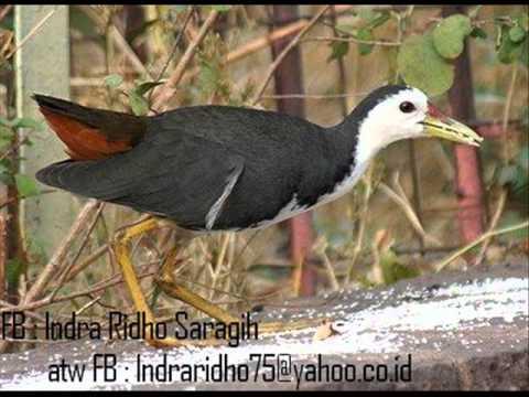 Suara Burung Ruwak Ruwak Cocok Untuk Mendekut Dan Memikat video