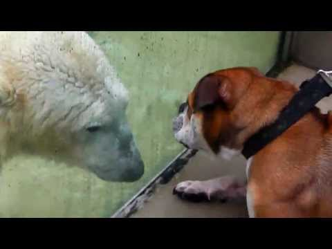 Polar Bear Giovanna and her Dog Friends - Eisbrin Giovanna und ihre Hunde-Freunde