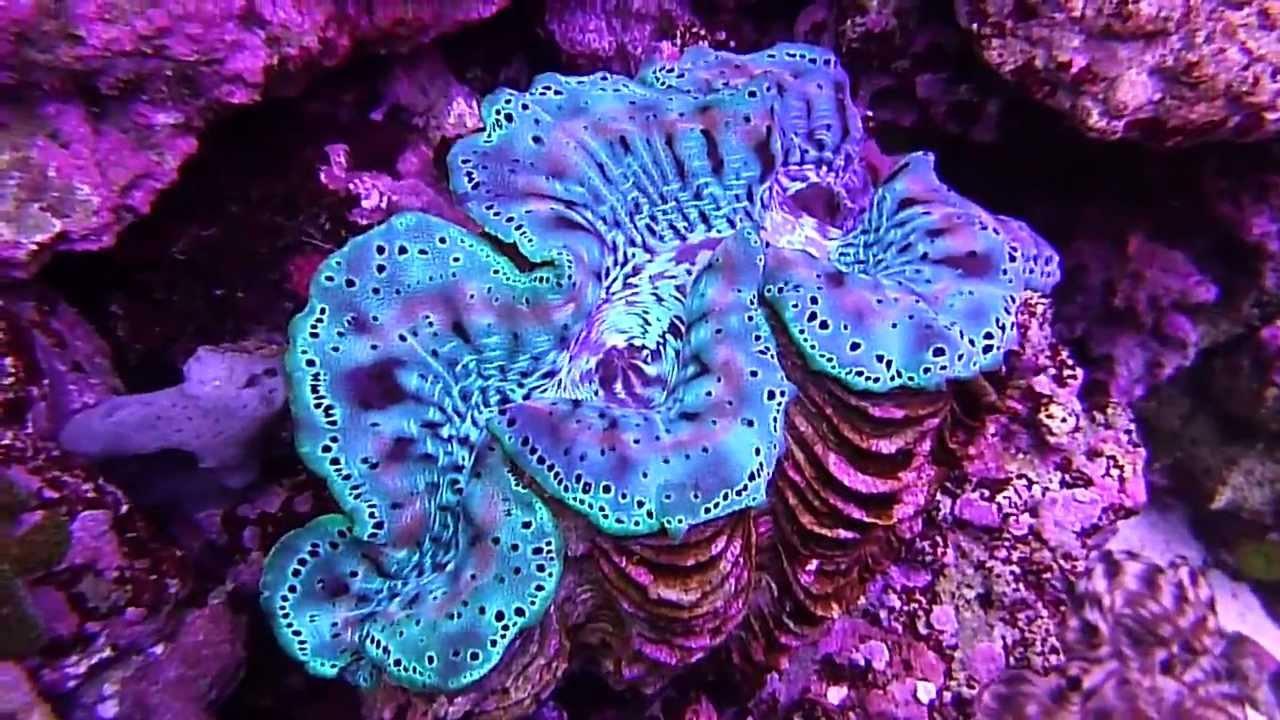 Underwater Tridacna Squmosa Crocea Maxima Clams in 75 Gallon Reef Tank ...