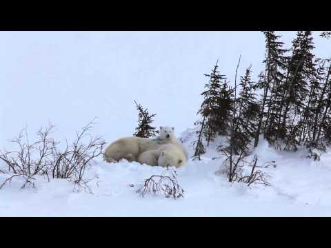 Yawning is Contagious! Polar Bear Mom and Cub