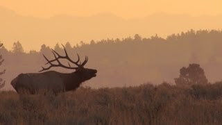 Awesome Bull Elk bugles at sunrise