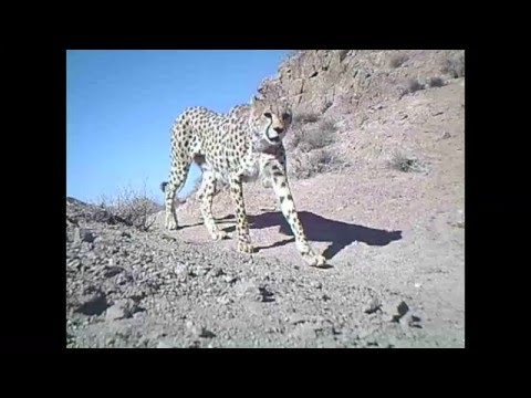 Asiatic cheetahs on the move