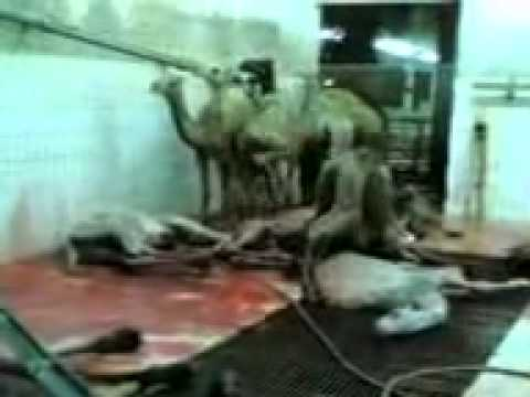 Chopping Off Camels Heads.flv