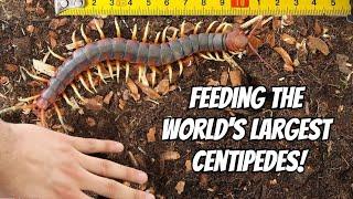 GIANT CENTIPEDE PET FEEDING! (Scolopendra gigantea)