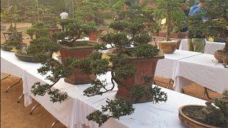 SH.2442.Cặp đôi Tùng dáng huyền đẹp quá với nhiều loại cây bonsai tại triển lãm Vạn Thắng. Ba Vì.HN