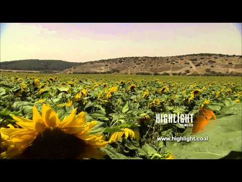 LN 068 Zoom in to close up of a sunflower field in south Israel