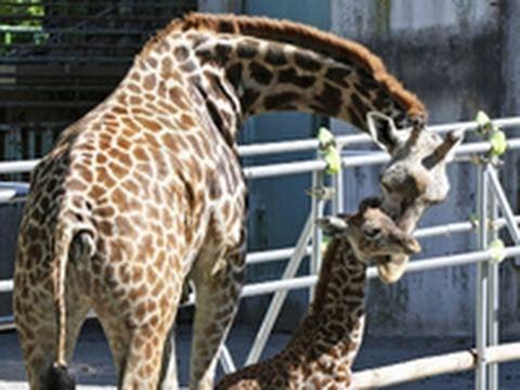 マサイキリンの赤ちゃん  円山動物園(2011/06/25)北海道新聞