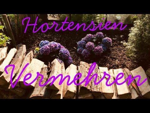 Hortensien schnell und einfach vermehren