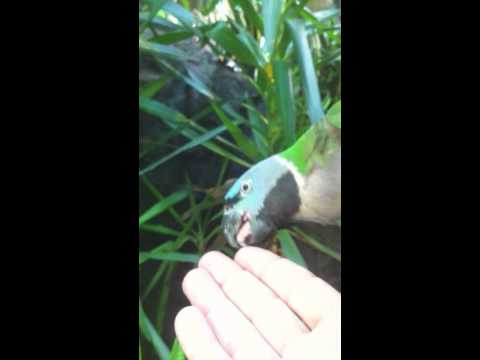 A Licking Parrot B.mov video