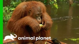 Mangis Is Getting Picked On By An Orangutan 'Girl Gang' | Orangutan Island