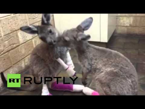 山火事から救出された赤ちゃんカンガルーがキュート!