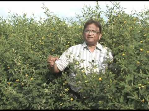 ICRISAT-led global team cracks pigeonpea genome
