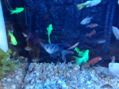 pez  transgenico