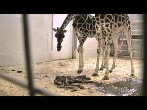 Naissance du girafeau de Kisumu, deuxième partie