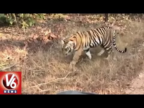 Tiger Population Has Increased By 18% In Nallamala Forest | V6 News