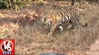 Tiger Population Has Increased By 18% In Nallamala Forest