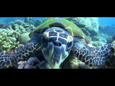 Turtles Unlimited... Green and Hawskbill Sea Turtles