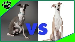 Italian Greyhounds vs Whippets Which is Better? Dog vs Dog