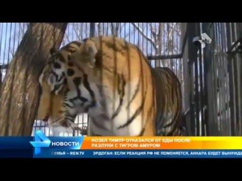 Козел Тимур и Тигр Амур козел не ест без своего друга свежие новости 11.12.15