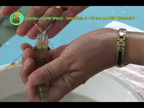 Southeast Asian Fisheries Development Center  Seafdec   Ulang  Freshwater Prawn  Hatchery Part 1