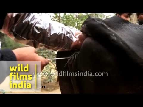 Artificial insemination of a Cow in India