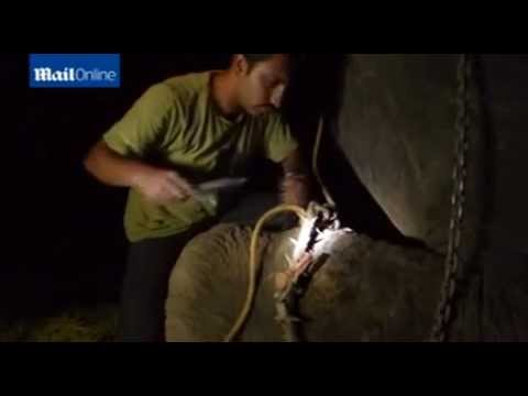 Daring midnight rescue operation to free Raju the elephant