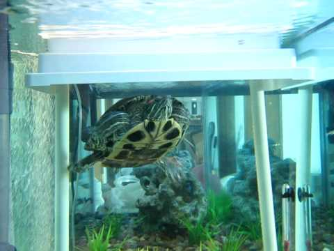 tink turtle swimming in new tank / aquarium with diy basking area ramp