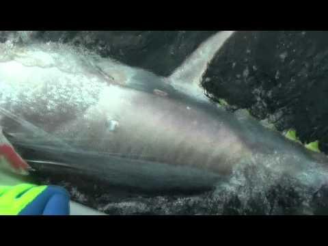 1000lb Bluefin Tuna PEI