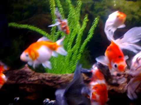 Large fancy goldfish aquarium youtube for Fancy fish tanks