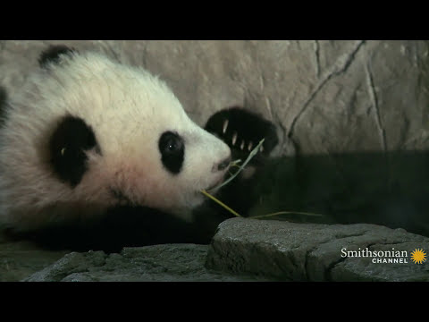 Giant Panda Cub Bao Bao Is Growing Up Fast