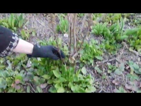 Размножение Черенками и Посадка Черной Смородины Весной, уход за ней.